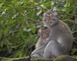 Scimmia con piccolo - 222095429