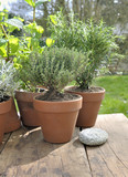 potted aromatic plant put on a table  in garden - 222095862