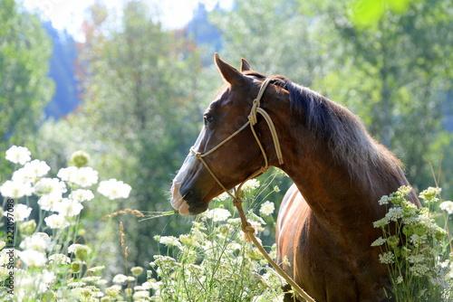 Fototapeta The look. Beautiful sorrel Quarter Horse in between White Flowers Looking backwards
