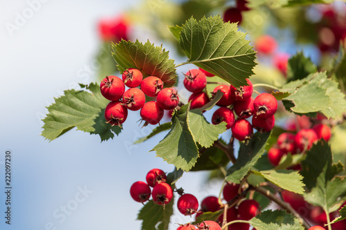 Red hawthorn berries on the branches of a tree - 222097230