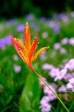 Bird of Paradise Flower with green blur background,Strelitzia Reginae flower closeup - 222097499