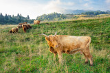 Highland cow breed in mountain pasture - 222109489