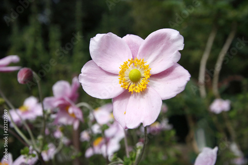 Sticker Pink Japanese anemone flower close up
