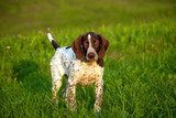 german shorthaired pointer, german kurtshaar one brown spotted puppy, photo in the evening light in the nature, the animal looks at the camera, stands on the bright green grass,  - 222133238