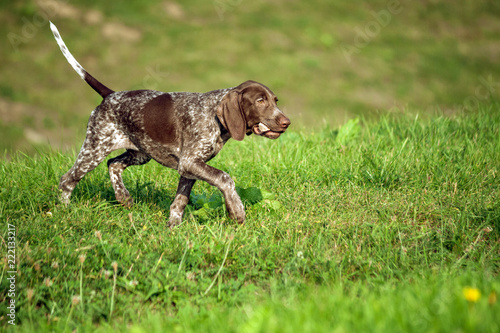 german shorthaired pointer, german kurtshaar one brown spotted puppy, the animal runs along the green grass to the field with a large stone in its teeth, the dog in motion - 222133217