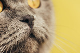 close up of nose on cute scottish fold cat