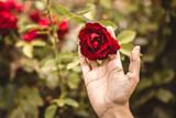 rosa en mano - 222153893
