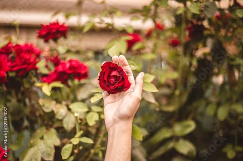 rosa rosa y mano jardin - 222154087