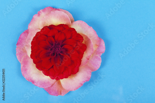 Foto Murales Red dahlia flower on top of rose petals