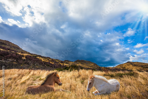 Foto Murales Two horses resting in yellow grass
