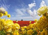 Garden buttercups and cumulus clouds - 222169261
