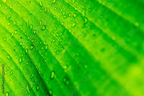 Leinwandbild Motiv Water drops behind leaves after rain. Background Concept.