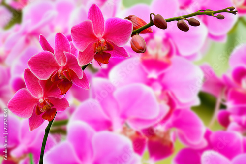 pink Phalaenopsis or Moth dendrobium Orchid flower in winter or spring day tropical garden Floral nature background.Selective focus.agriculture idea concept design with copy space add text. - 222170064