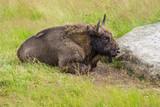 buffalo reserve  Sainte Eulalie en Margeride,lozere,france - 222179200