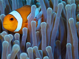 clownfish in green anemone - 222180498