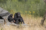 Chimpansee mother and child baby - 222181487