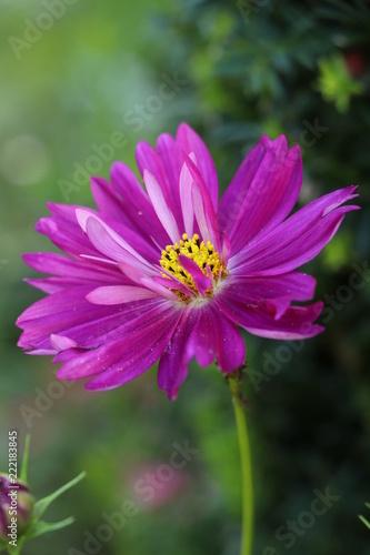 cosmos flower in pink macro - 222183845