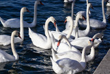 a flock of swans scrambling over food on a river - 222193219