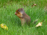 Cute brown squirrel nibbling in the green grass surrounded by fallen leaves, Canada - 222194049