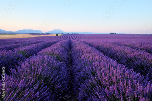 Blooming lavender field in the sunlight at dawn. Sunrise over Valensole valley, Provence, France. Summer meadow flowers in the morning. © art4stock
