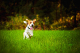 Dog Beagle having fun running towards camera with tongue out towards camera in summer day on meadow field - 222204477