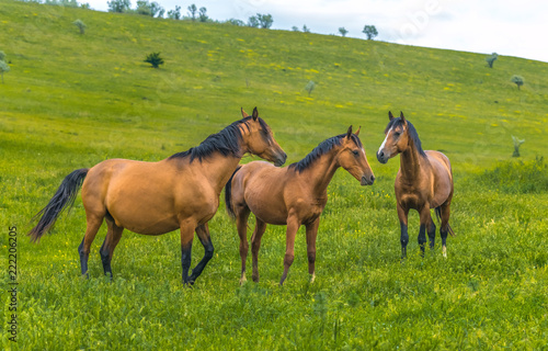 Fototapeta Horses in the steppe. Pets graze in the spring steppe.