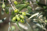 Green Olives on a tree - 222209049