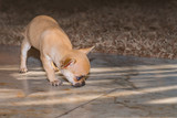 A chihuahua puppy takes a trail and looks for
