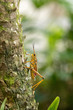 Orange. yellow and red Eastern lubber grasshopper Romalea microptera