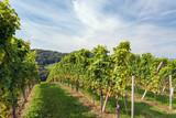 Weinstöcke mit weissen Trauben im Spätsommer - 222256028
