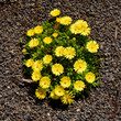 Leinwanddruck Bild - Mittagsblume, Dorotheanthus