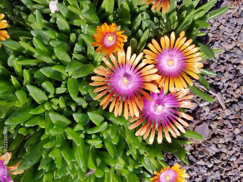Leinwanddruck Bild Mittagsblume, Dorotheanthus
