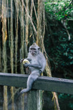 A portrait of a monkey sitting on a wooden handrail and eating in the sacred monkey forest in Ubud, Bali, Indonesia - 222268040
