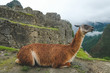 The brown lama lies on the background of Machu Picchu, Peru, January 2018. Ancient city in the mountains