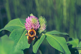 Fat bee find nectar in pink clover close up. Insect on flower with copy space on green blurred background. - 222268898