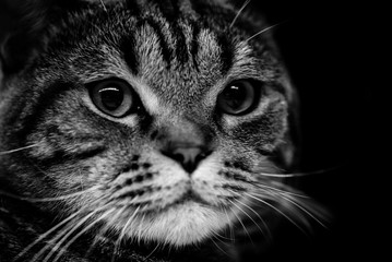 cat head isolated on black background