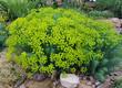 Leinwanddruck Bild - Steppenwolfsmilch, Euphorbia, seguieriana