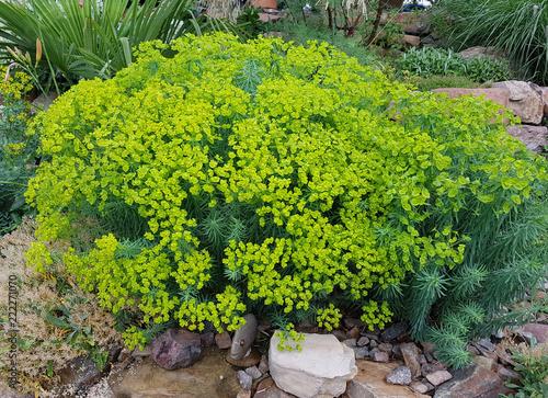 Leinwanddruck Bild Steppenwolfsmilch, Euphorbia, seguieriana