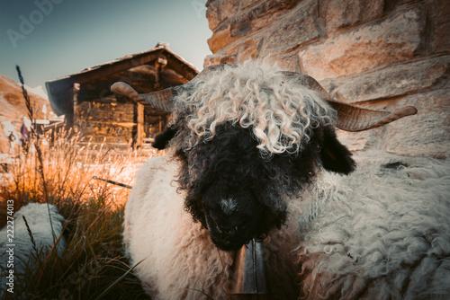 Leinwanddruck Bild Portrait eines witzigen Schwarznasenschaf oberhalb von Zermatt