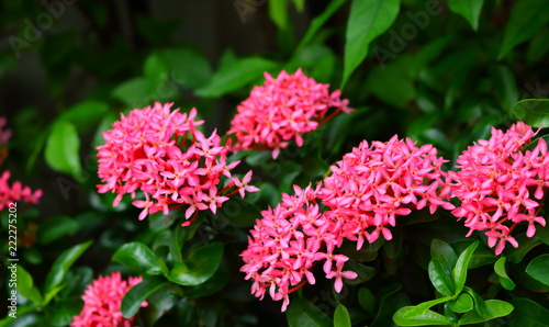 Beautiful picture of pink spike flowers or ixora buy photos ap beautiful picture of pink spike flowers or ixora mightylinksfo