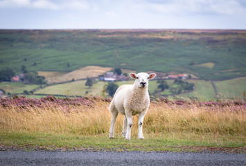 One sheep resting and looking at camera on a grassy piece of English countryside. Blooming heather moors in background
