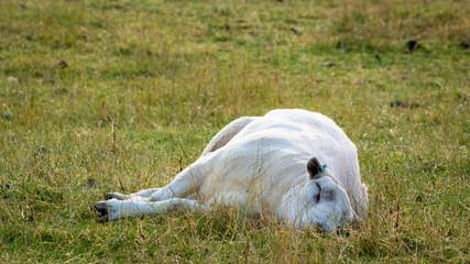 One sheep sleeping on its side on a grassy farmland