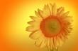 Close-up of a sunflower head - 222297827