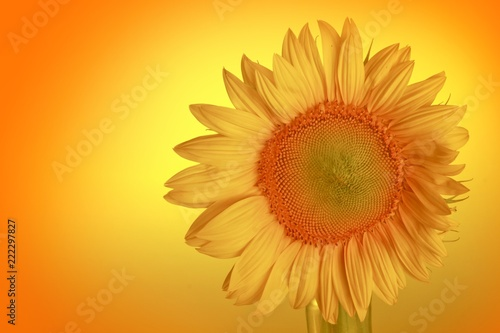 Close-up of a sunflower head - 222297827
