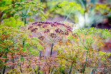 A multicolored ripening dill on the garden on a sunny day_ - 222298680
