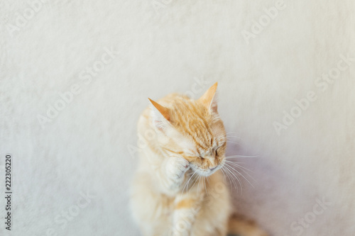Fototapeta Lifestyle orange cat in a bright house