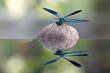 Leinwanddruck Bild - Calopteryx virgo (libellula)