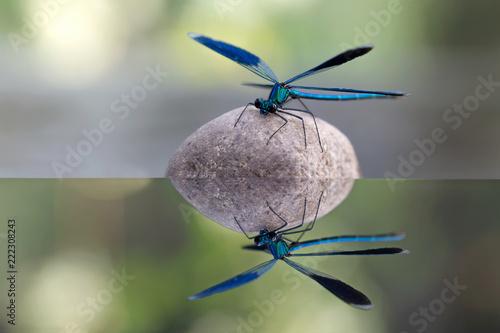 Leinwanddruck Bild Calopteryx virgo (libellula)
