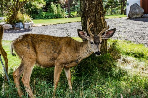 Fototapeta Inquisitive young buck