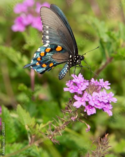 Swallowtail_2 - 222318007